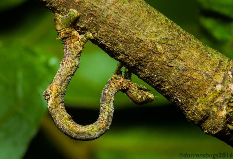 Cryptic geometer moth caterpillar (Geometridae) from Monteverde, Costa Rica.