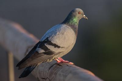 Doves - Duefugle