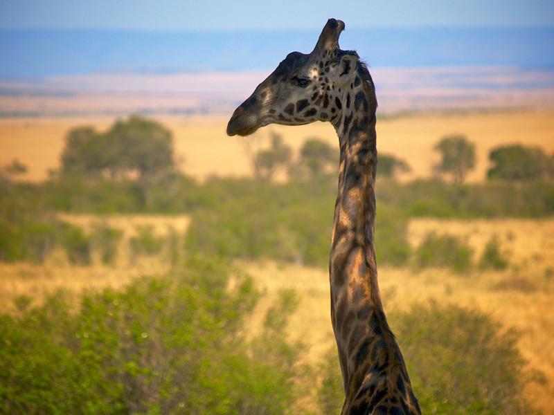 På utkikk. Hva tenker han på? Fra Masai Mara  (Foto: Geir)