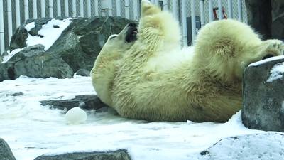 POLAR BEAR / FOX / MUSK OX