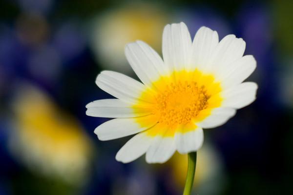 Santorini's Wildflowers