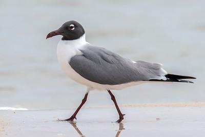 March 17, 2019 - Molting Gulls