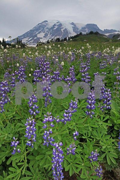 Mt. Rainier & lupine 2328.jpg