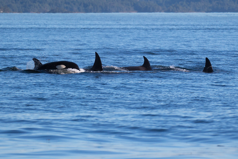 Orcas -  073115-605.jpg