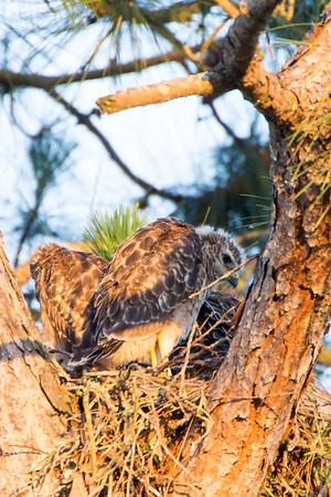 Brookwood Red Shouldered Hawk Chicks