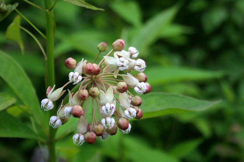 White Milkweed