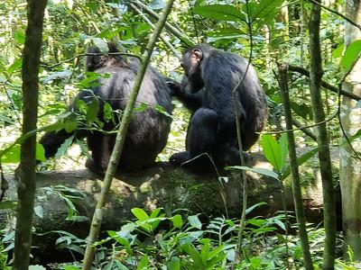Kibale Chimp Trek, Uganda 2018