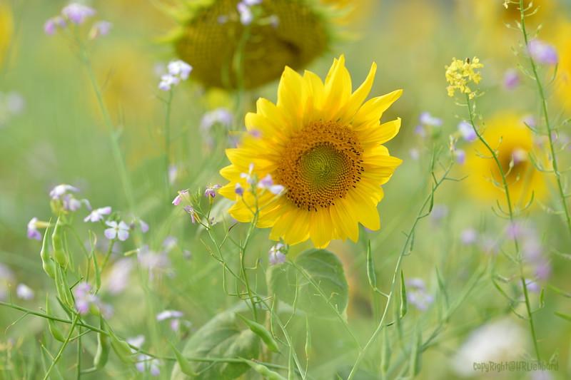 Sunflower Lonay_20092020 (29).JPG