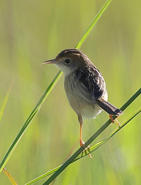 Golden-headed cisticola, Sippy Downs, Australia