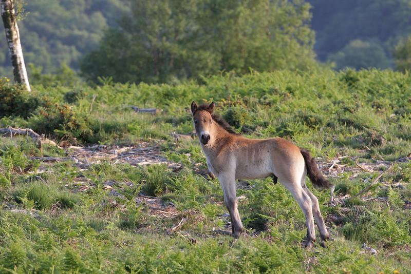 """Exmoor Pony Foal"""