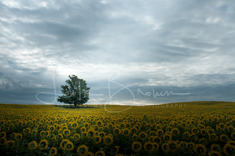 Sunflower field in Caledon East, Ontario