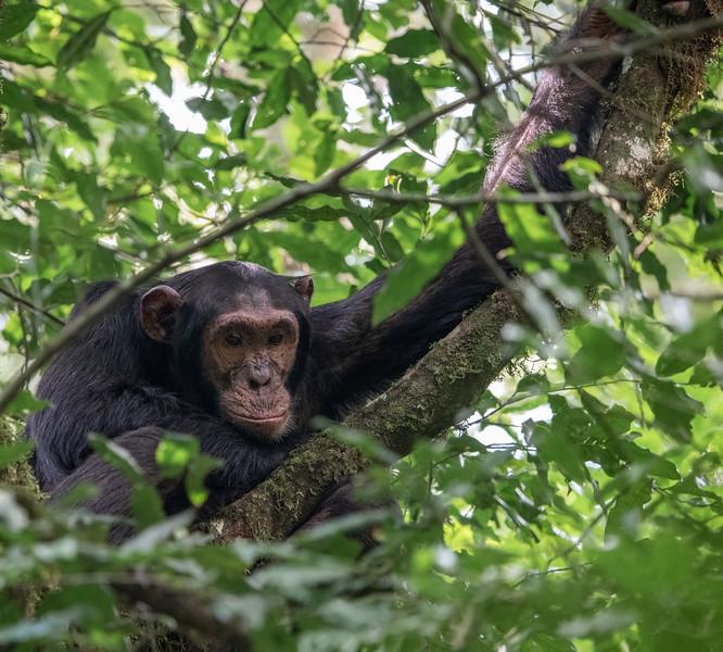 Uganda_T_Chimps-1574.jpg