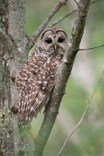 #1474 Barred Owl