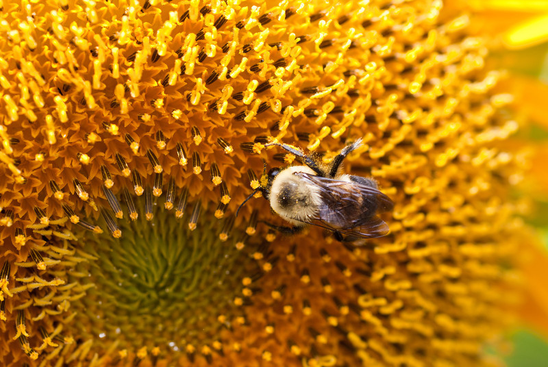 bee and sunflower macro.jpg