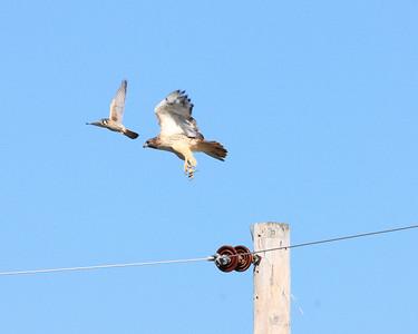 Hawk Under Attack