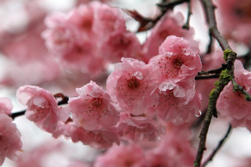 Cherry Blossoms Best for Blog.jpg