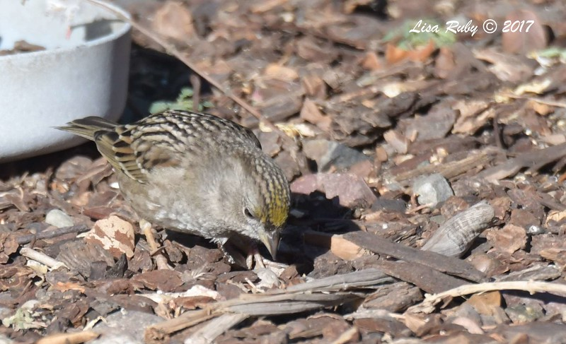 Golden-crowned Sparrow - 12/19/2017 - Yard