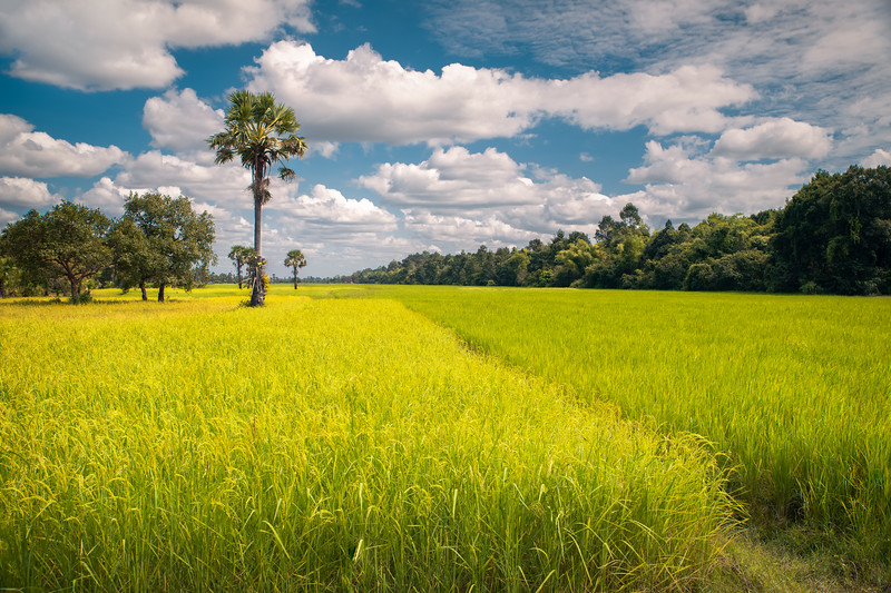 Harvest Awaits || Siem Reap