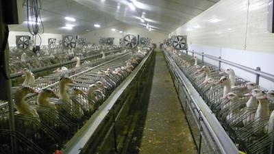 Foie gras : canards en cages individuelles