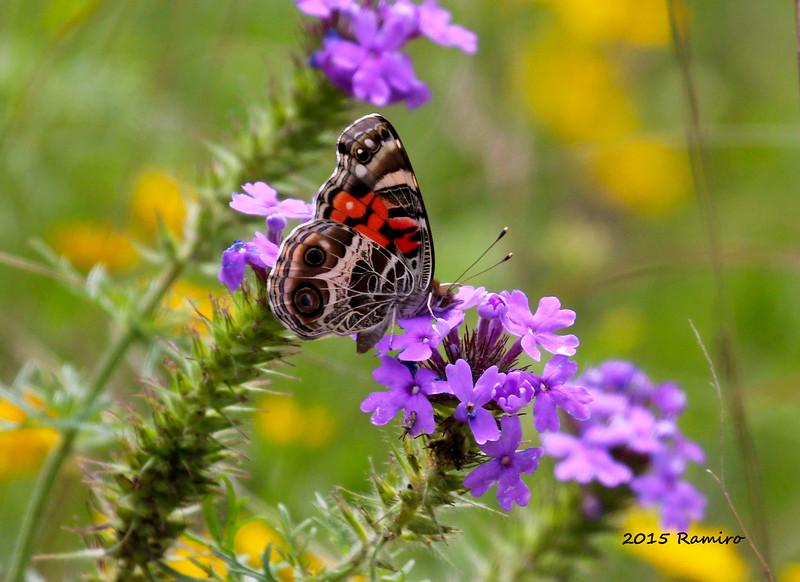 Butterfly2 4-20-15 181.jpg