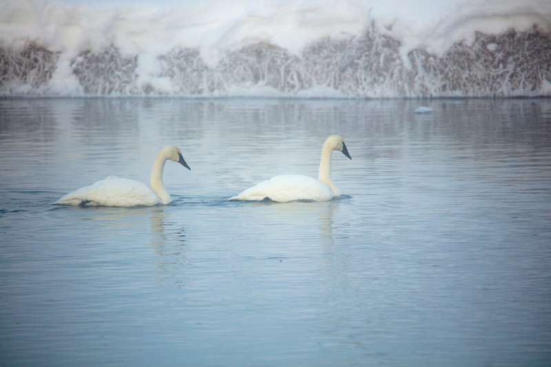 387A9690 Two swans Madison rv.jpg