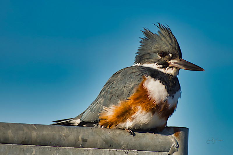 Belted Kingfisher.jpeg