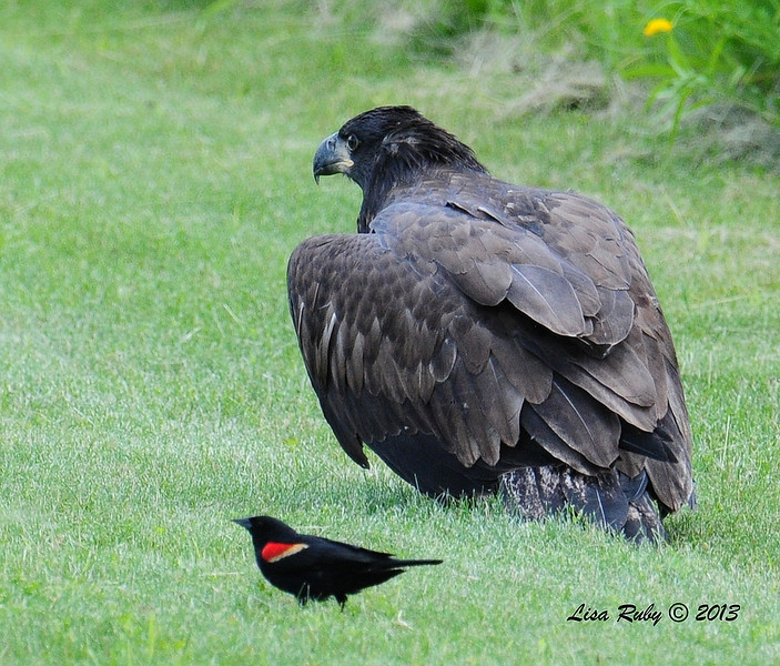 Juvie out in a field. The red-winged blackbirds continuously harass the Eagles. They chase them in flight and even hitch rides on their backs. 6/28/13