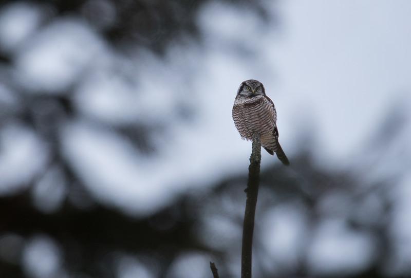 Hawk owl-9575.jpg