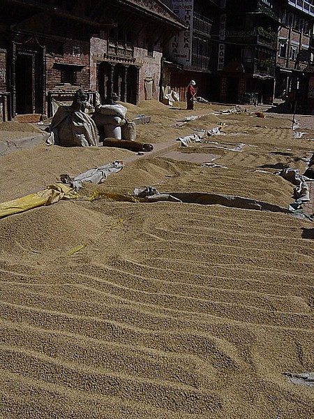 drying the rice harvest on the streets
