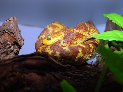 Atheris squamigeria
