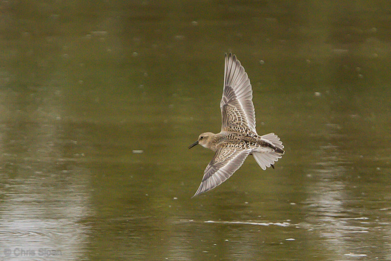 Baird's Sandpiper juvenile at Duck River Unit, TNNWR, TN (08-26-2012)-44.jpg