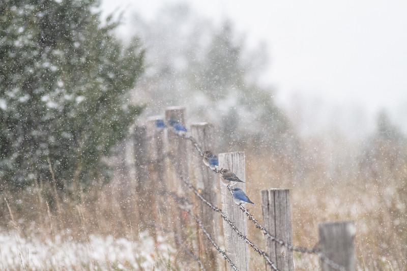 Mountain Bluebird flock on barbed wire fence in snow Theodore Roosevelt National Park Medora ND -1822.jpg