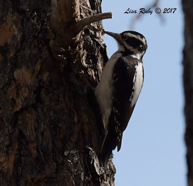 Hairy Woodpecker -  10/18/2017 - Wickwood Lane, Prescott, AZ