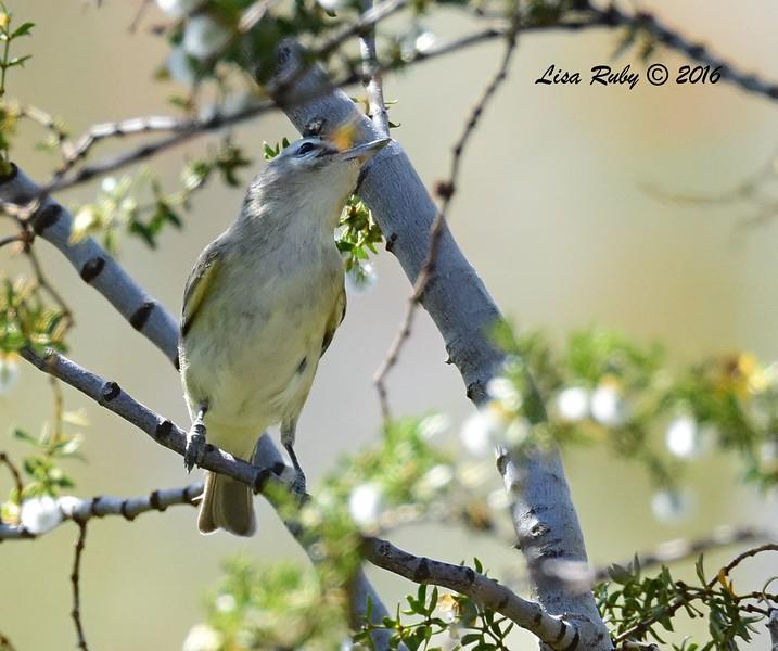 Warbling Vireo - 4/3/2016 - Agua Caliente County Park