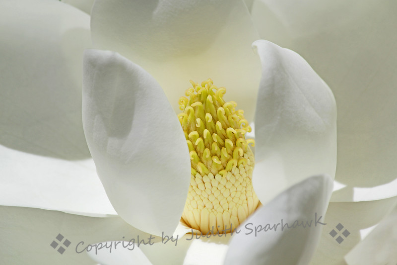 The Many Shades of White ~ This extra-closeup shot of a large magnolia bloom showed the beauty of white in all its shades.