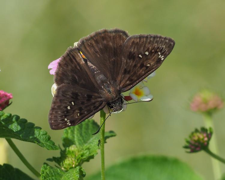 Horace's Duskywing, male