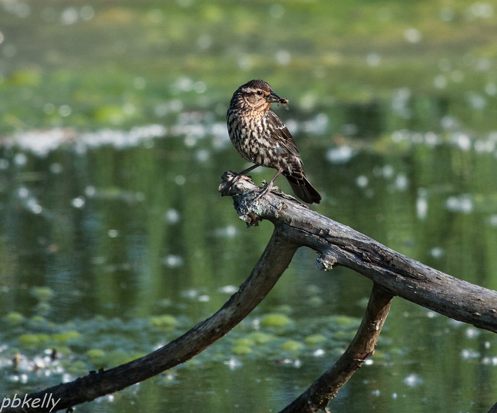 June 14.  Papa Red-Winged Blackbird is spectacular, but Mama does most of the work.