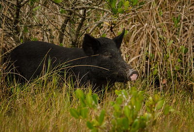 Close up of a wild boar.