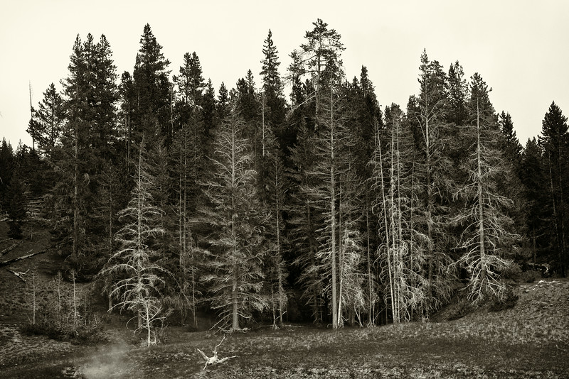 Dead Trees by Riverside Geyser