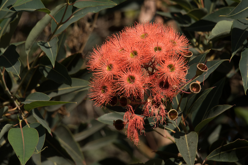Eucalyptus tree flowers in August.