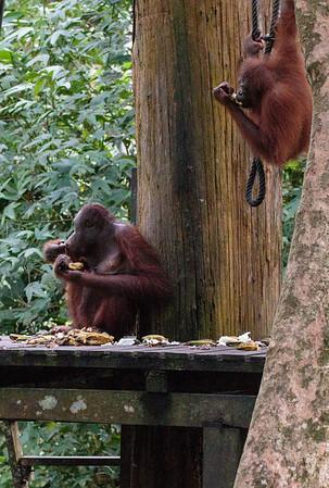Sabah 2017 - Orang Utangs and Monkeys