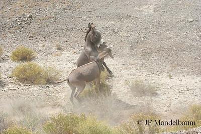 Feral Donkey