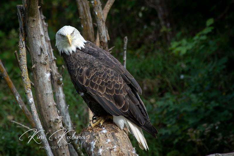 Bald Eagle-05264.JPG