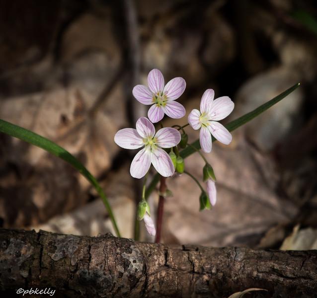 spring beauties 041915-2.jpg