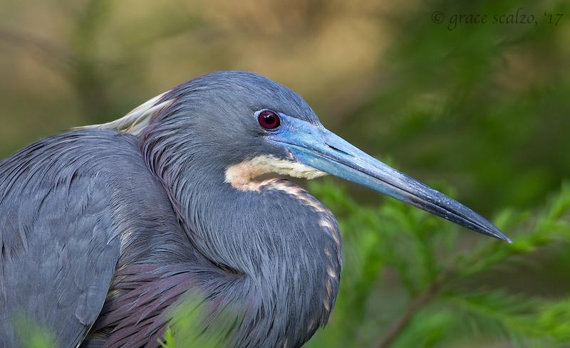 Tricolored Heron Portrait