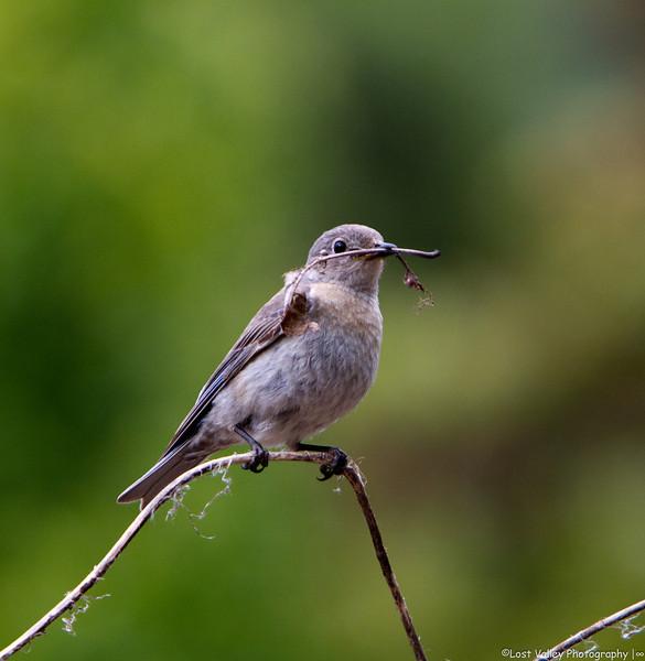 Bluebirs Nesting-1085.jpg