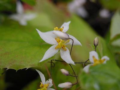 Epimedium stellulatum 'Wudang Star' close-up