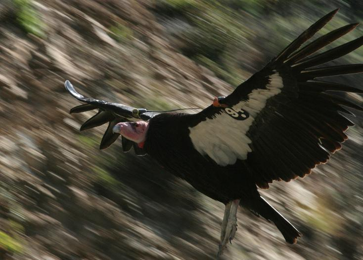 Closeup, California Condor 194, about 30 feet away, May 2007.JPG