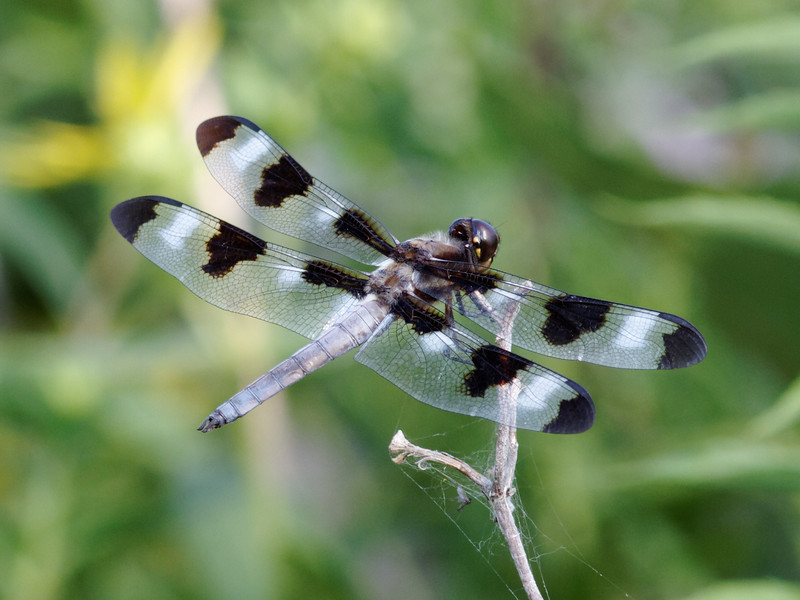 Spotted Skimmer