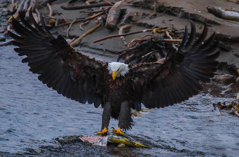 Bald Eagle Shoot 1031.jpg